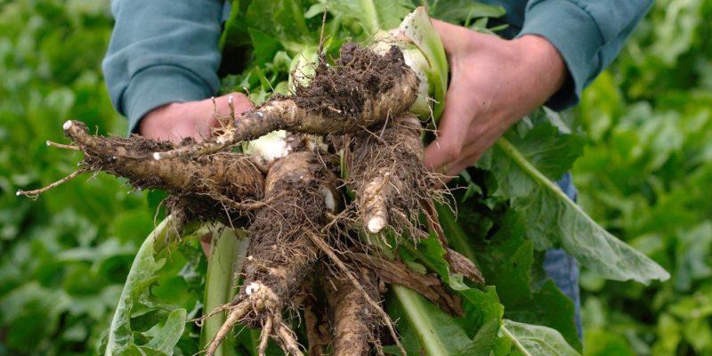 chicory root 2